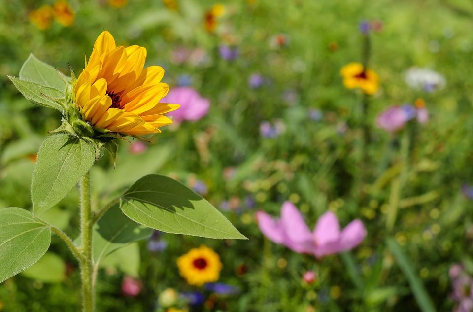 Sun Flower, Flower, Flowers, Meadow, Wildflowers