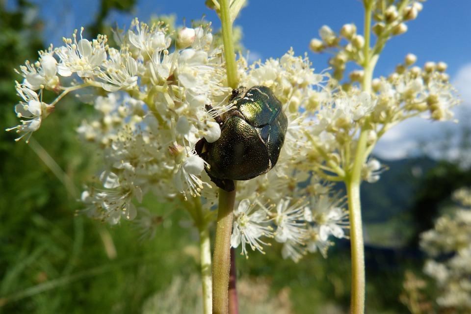 Meadowsweet, Rose Beetle, Flowers