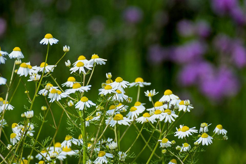 Chamomile, Flowers, Naturopathy, Medicinal Plant