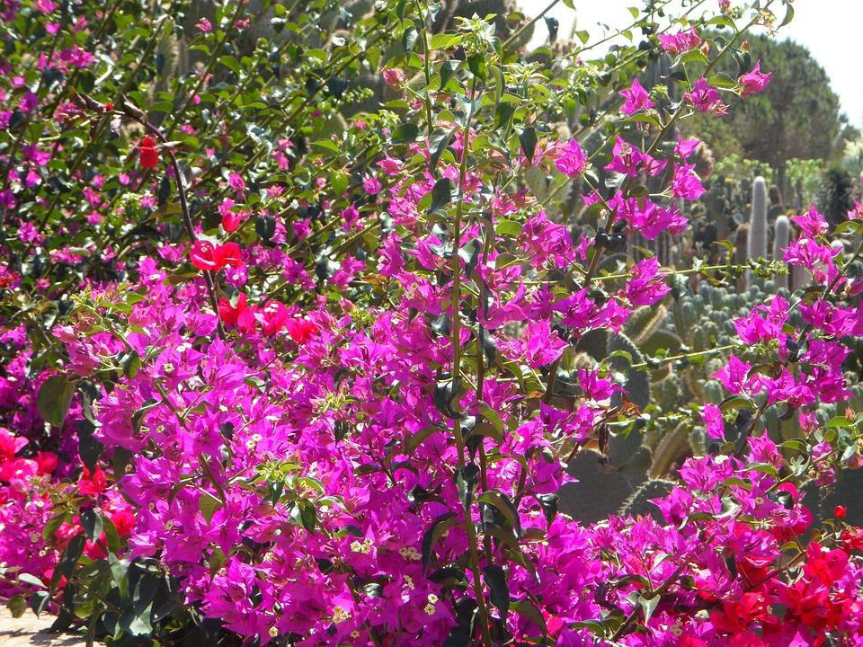 Free photo flowers mediterranean garden bougainvillea max pixel bougainvillea garden mediterranean flowers mightylinksfo