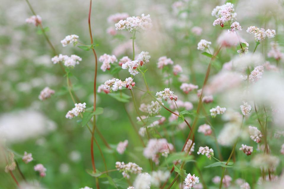 Flowers, Milkweed, Nature, Blossom, Garden