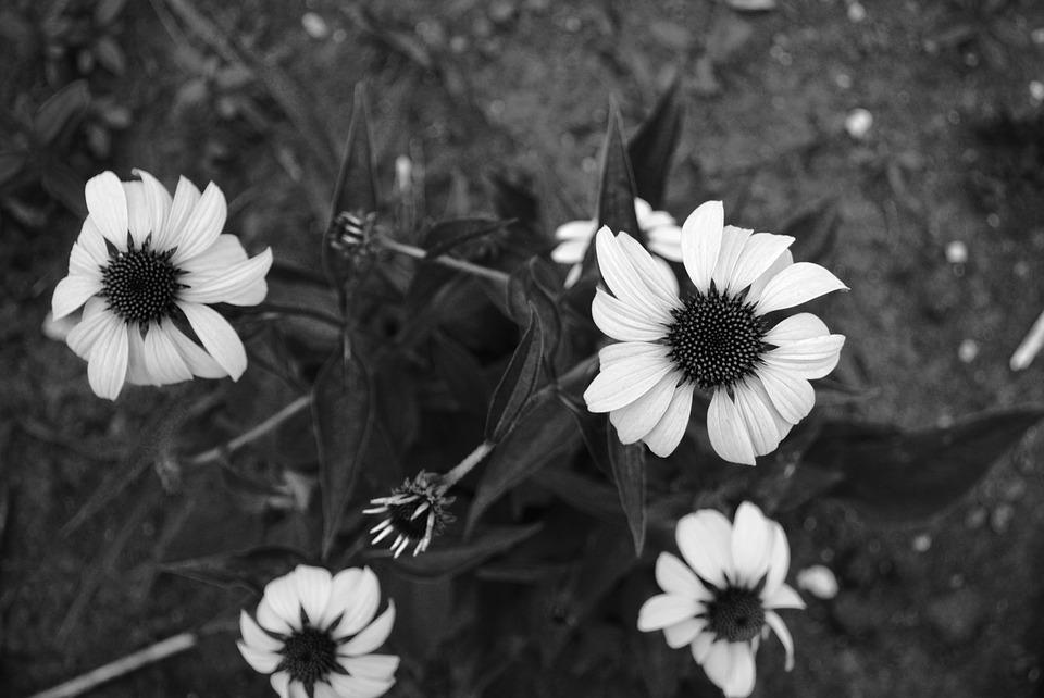 Free photo flowers minnesota black and white max pixel black and white flowers minnesota mightylinksfo