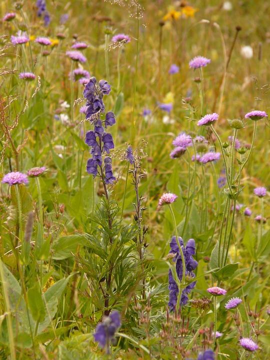 Alphabet, Meadow, Flowers, Bloom, Monkshood
