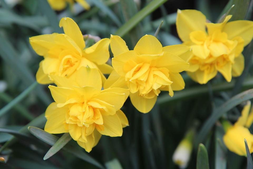 Narcissus, Narcissus Yellow, Yellow Flowers, Flowers
