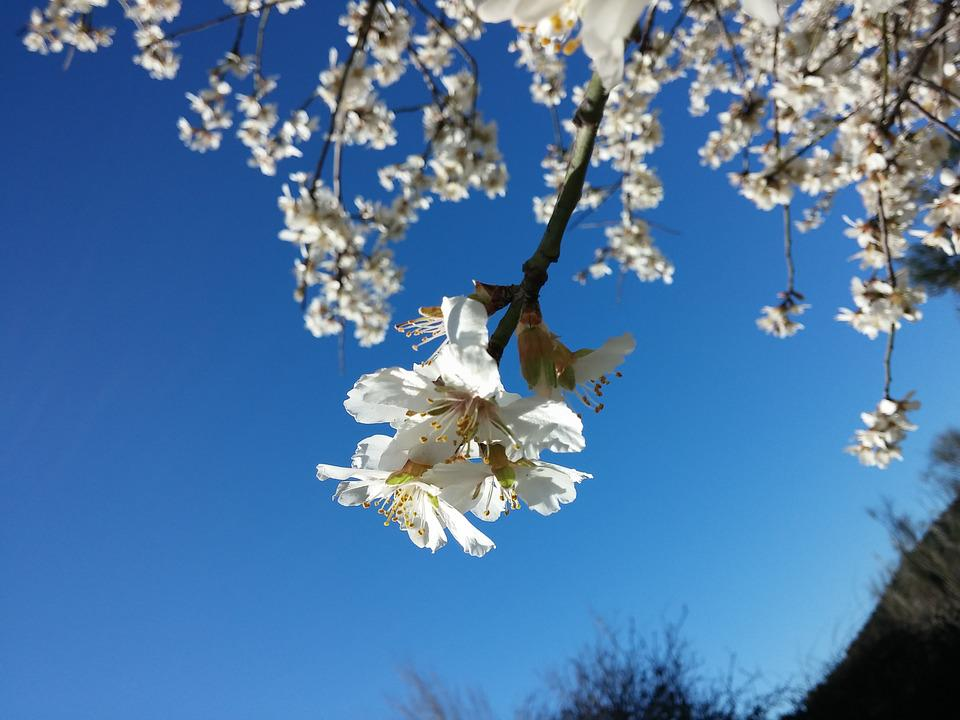 Flowers, Almond Tree, Nature