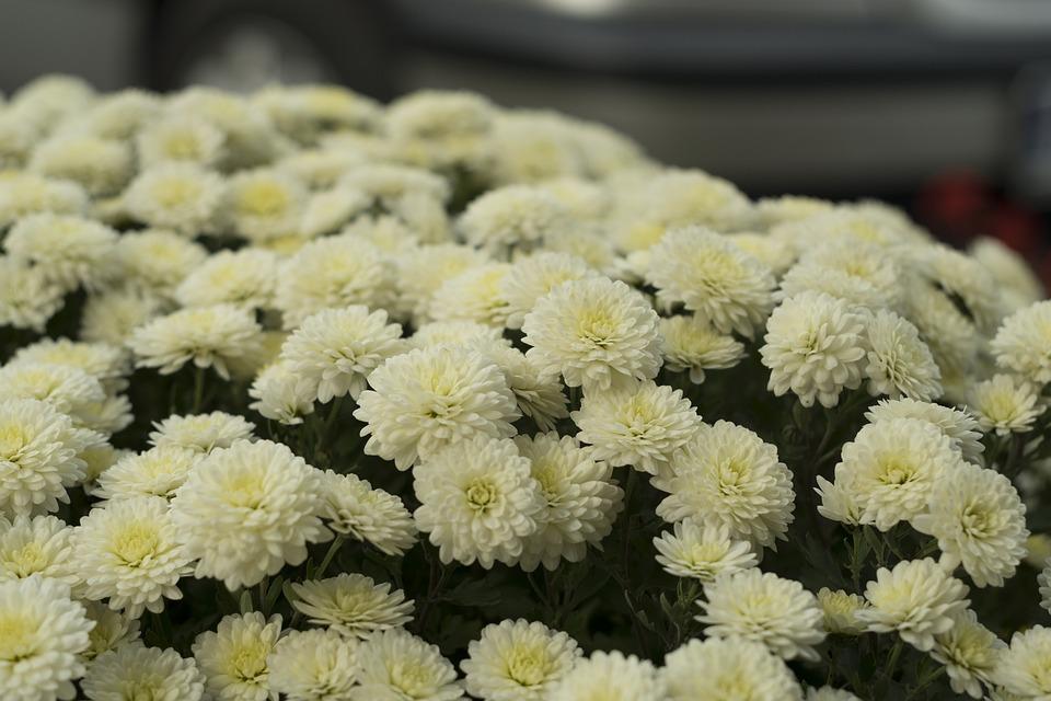 Flower, Chrysanthemum, Nature, Autumn, Flowers, Flora