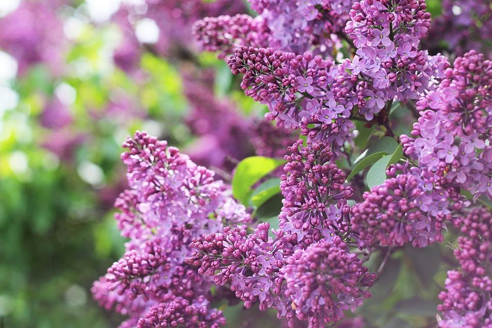 Lilac, Bush, Branch, Flowers, Bloom, Beautiful, Nature