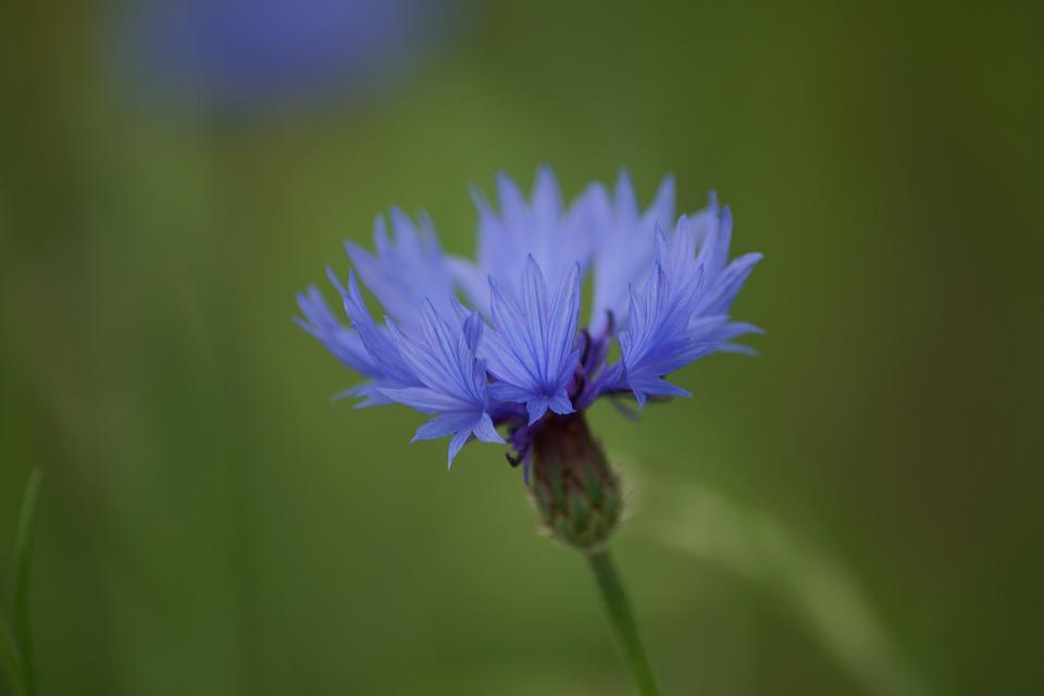 Cornflower, Flowers, Blue, Nature