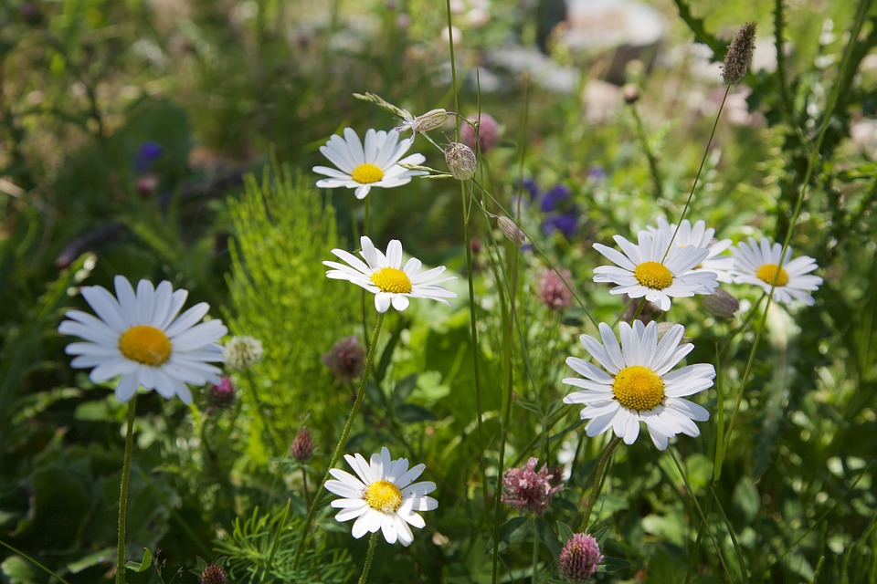 Chamomile, Flowers, Nature, Plant, Meadow, Summer