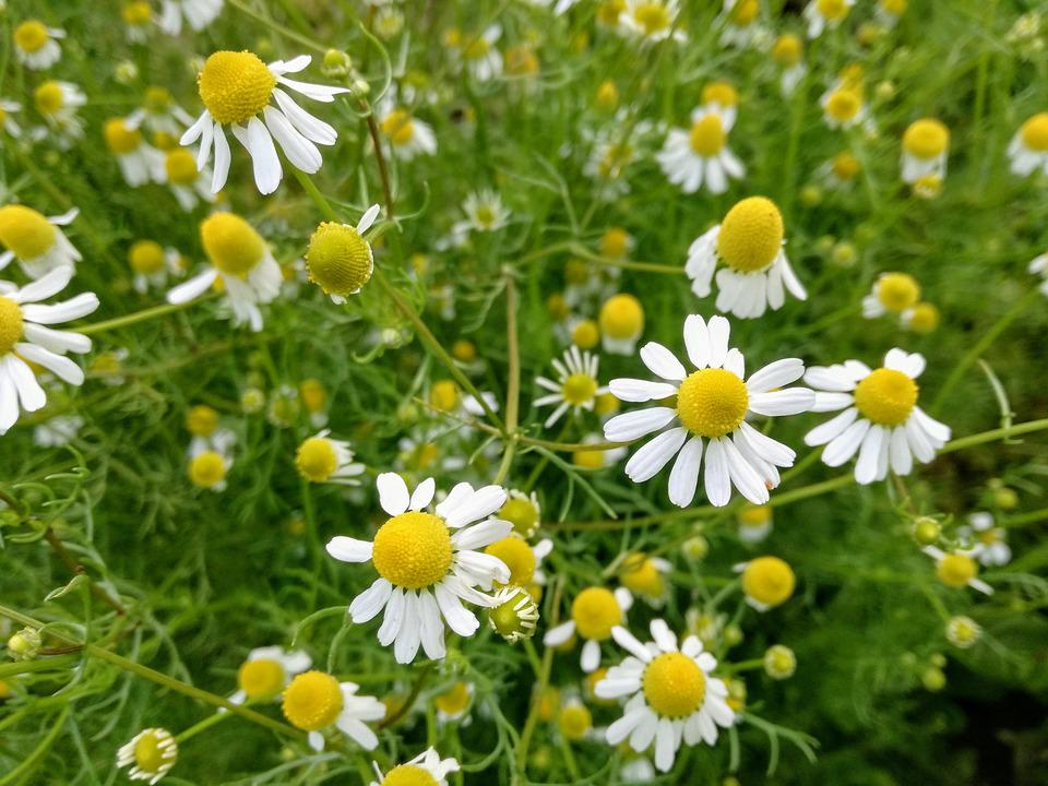 Chamomile, Camomile, Herbal, Nature, Plant, Flowers