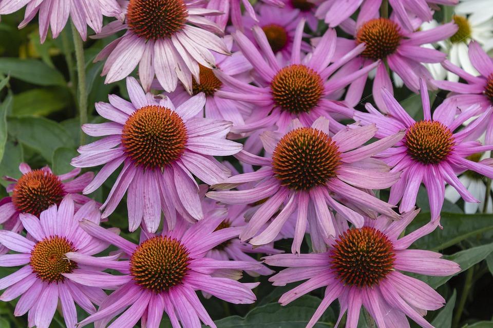 Daisy, Flower, Flowers, Daisies, Nature, Garden, Bloom