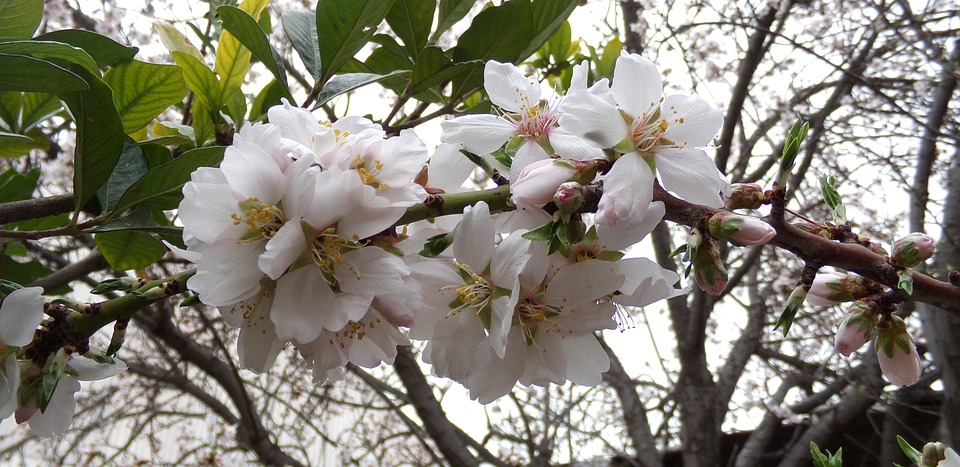 free photo flowers nature flowering tree flower almond tree max pixel