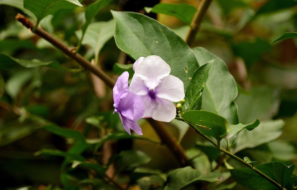 Flowers, Lilac Flowers, Garden, Nature