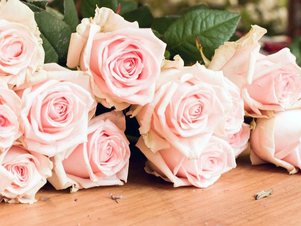 Rose, Flowers, Nature, Spring, Pink Flower, Garden