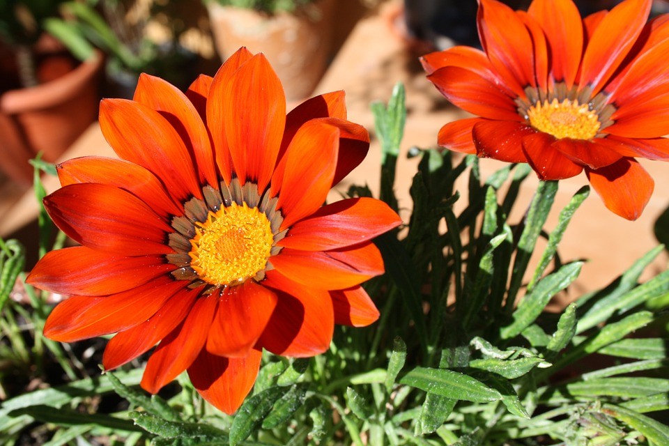 Gazania, Flowers, Plants, Garden, Nature