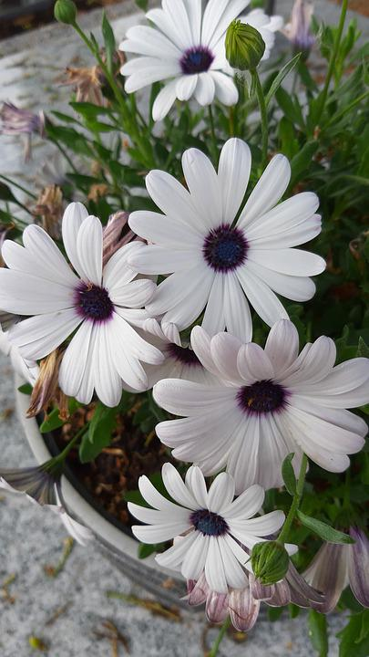 Daisies, Geese Flower, Flowers, White, Nature