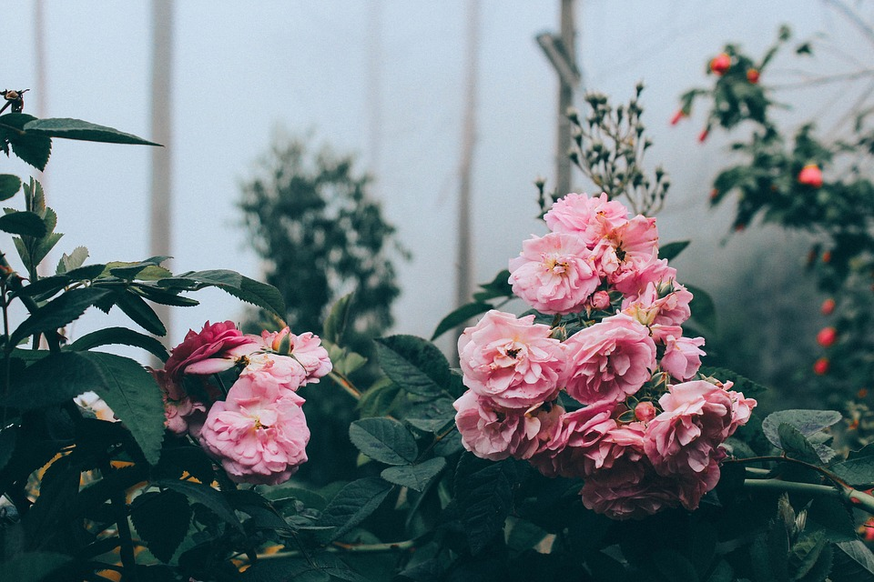 Flowers, Pink, Roses, Green, Leaf, Plants, Nature