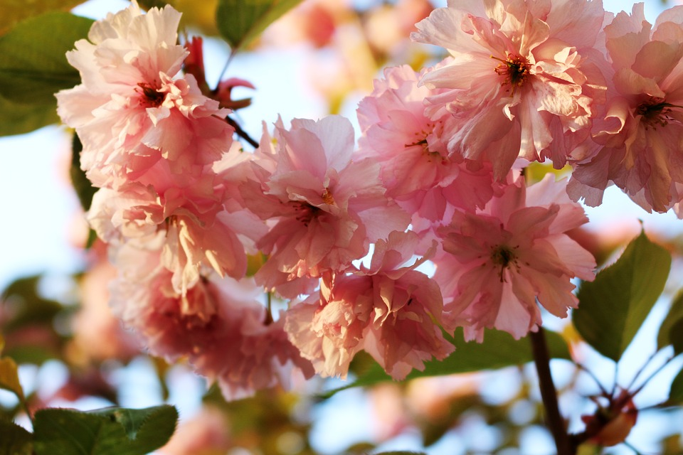 Pink, Flowers, Tree, Spring, Nature, Leaves, Green