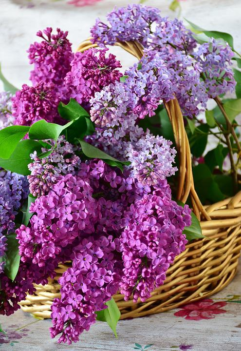 Lilac, Flower Basket, Flowers, Plant, Nature, Lavender