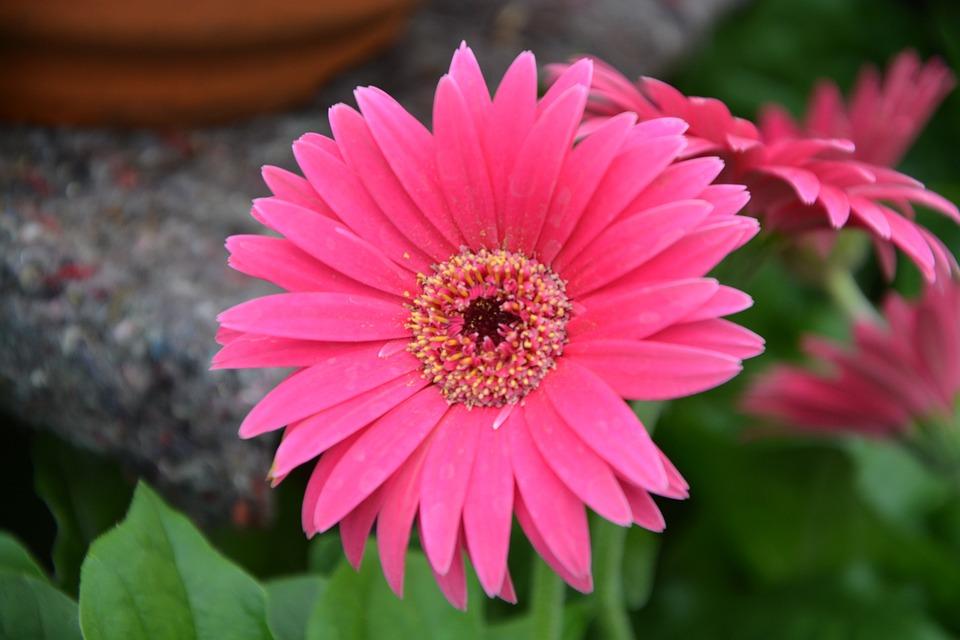 Flowers, Pink Fuchsia, Nature, Petals, Bouquet