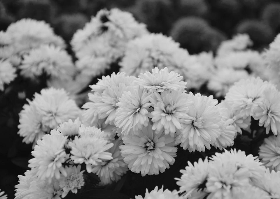 Free photo flowers nature photo black white asters massif max pixel flowers asters photo black white massif nature mightylinksfo
