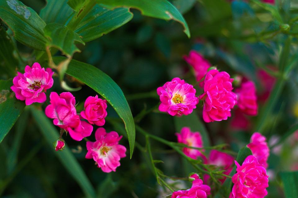 Flowers, Garden, Nature, Pink Flower