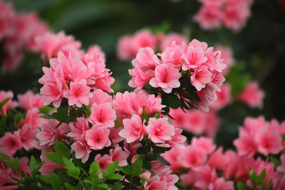 Flowers, Plants, Garden, Nature, Leaf, Azalea