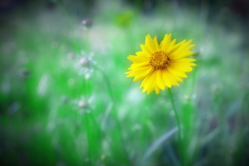 Cosmos, Yellow, Flowers, Plants, Nature, Petal