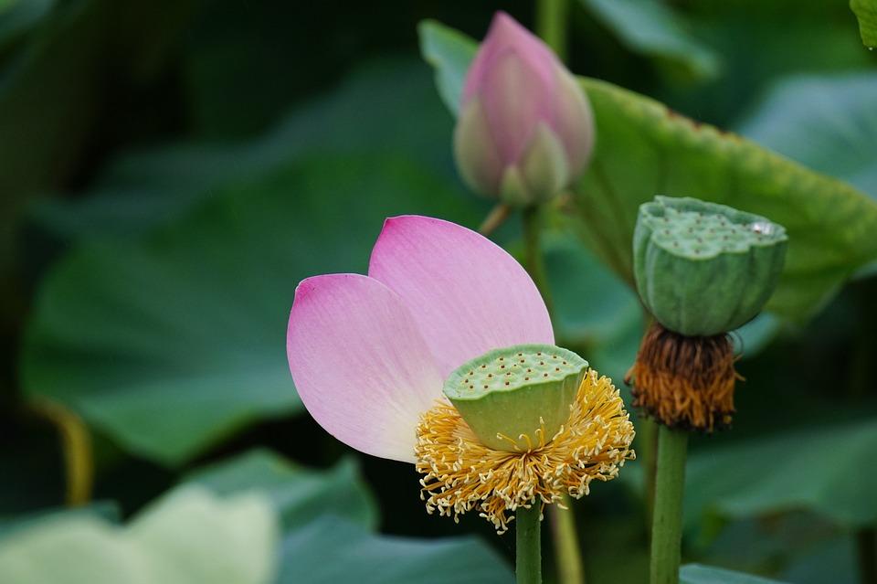 Lotus, Flowers, Plants, Nature, Pond Plants, Seeds