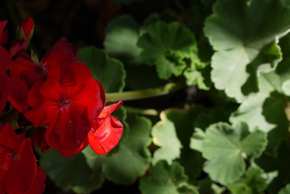Flowers, Red, Nature, Plants, Sun, Garden