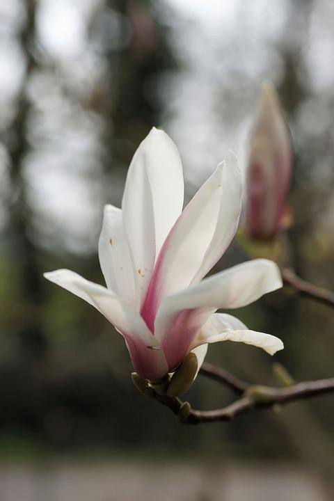 Magnolia, Tulip Magnolia, Nature, Spring, Flowers