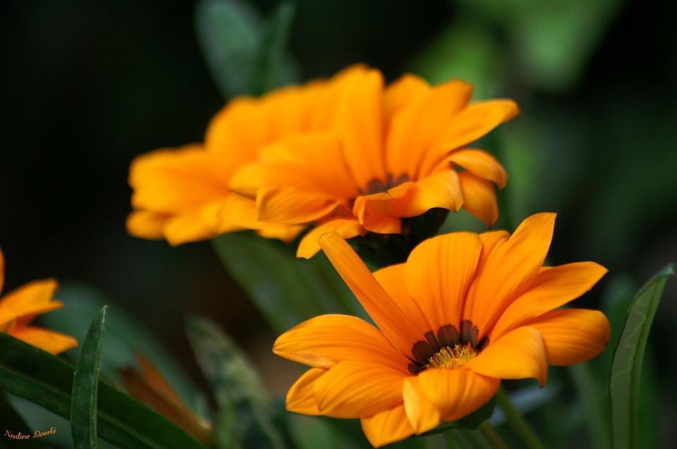 Flowers, Nature, Orange, Petals, Garden, Summer