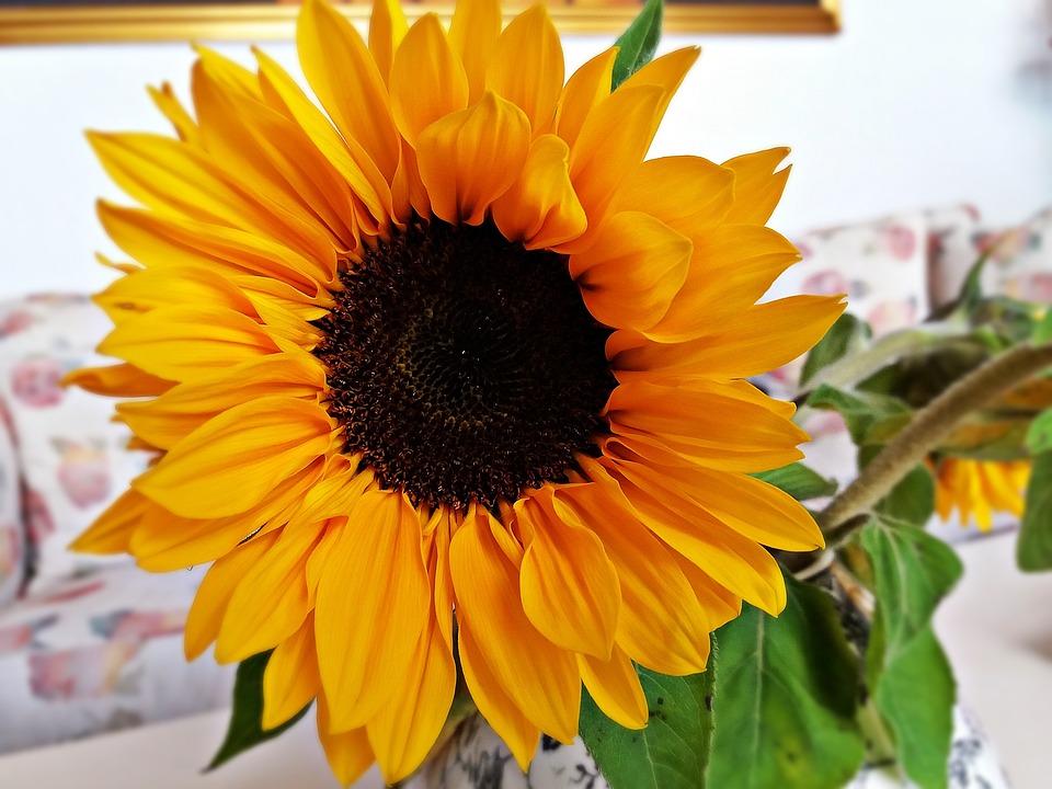 Sunflower, Flower, Flowers, Nature, Yellow