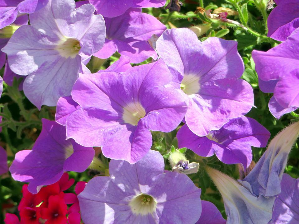 Petunias, Massif, Flowers, Violet, Nightshade