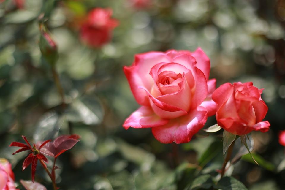 Noel Online Gift Shop, Flowers, Plants, Nature, Rose