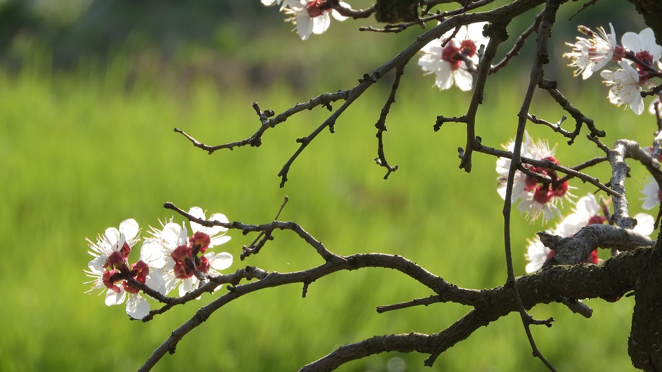 Spring Flowers, White Flowers, Flowers Of Apricots