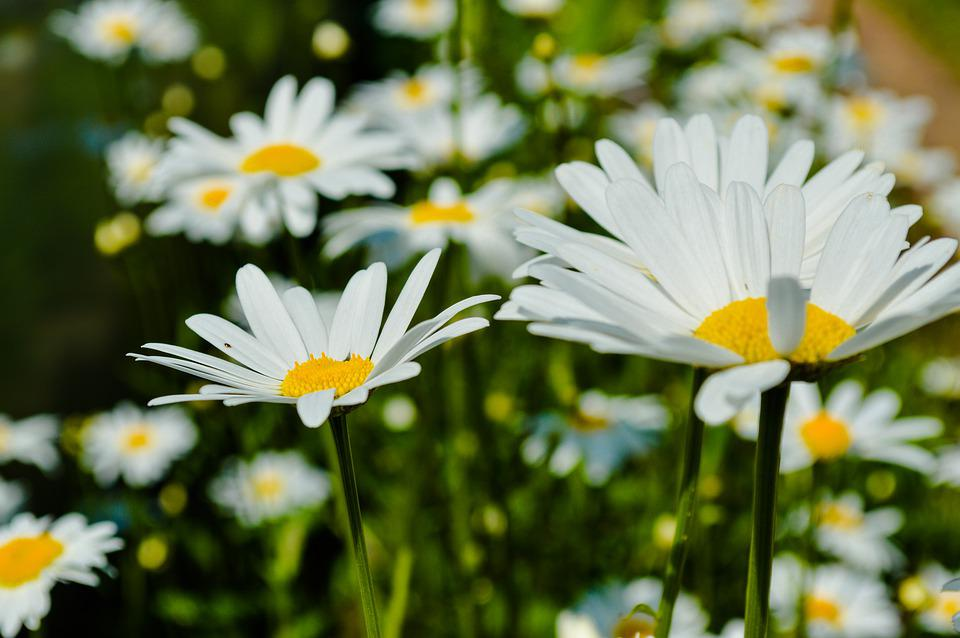 Chamomile, Flowers, Meadow, Flowers Of The Field