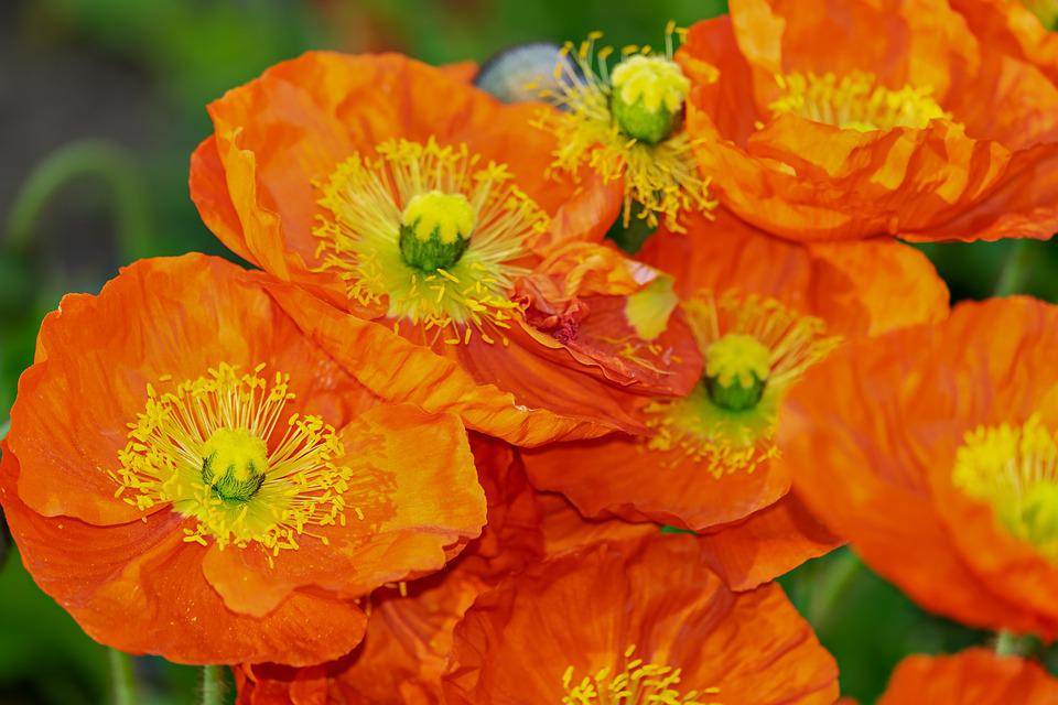 Poppies, Flowers, Buds, Orange Poppies, Orange Flowers