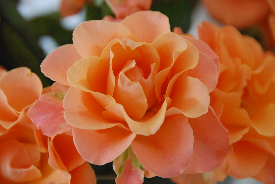 Rose, Orange, Flowers, Orange Roses, Nature, Rose Bloom