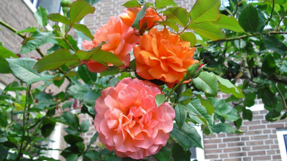 Rose, Roses, Orange Rose, Flowers