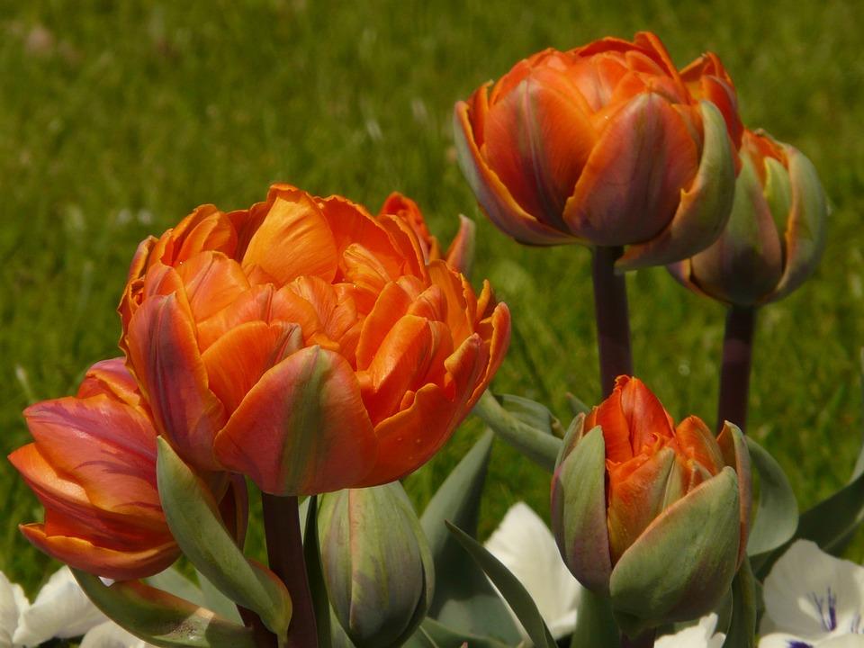 Tulips, Filled, Garden, Spring, Flowers, Orange
