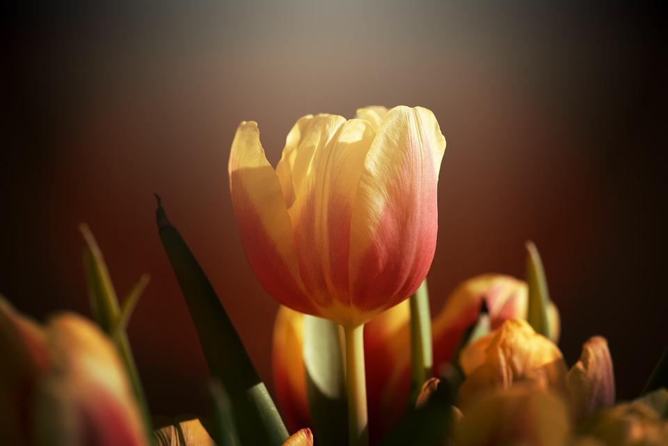Tulips, Flowers, Yellow, Red, Orange, Cut Flowers