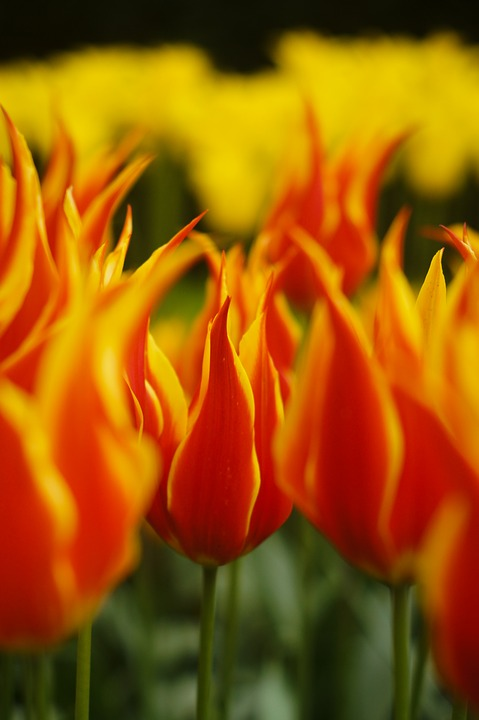 Flowers, Tulips, Holland, Spring, Orange, Yellow