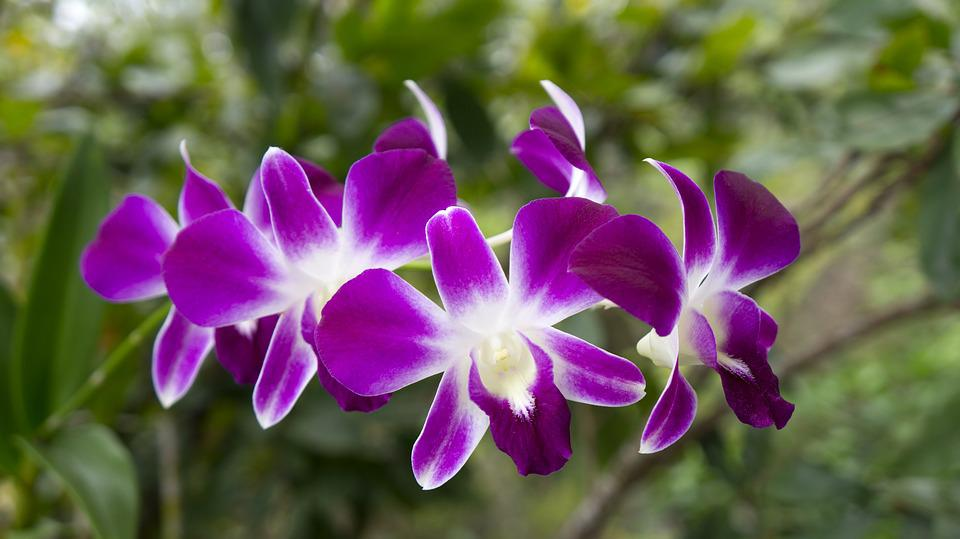 Orchids, Flowers, Natural, Purple Orchid