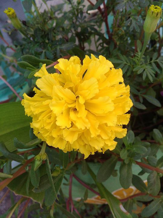 Marigold, Ornamental, Flowers, Marigold Flower, Yellow
