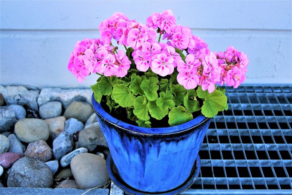 Flower Pot, Pink, Geranium, Flowers, Ornamental Plants