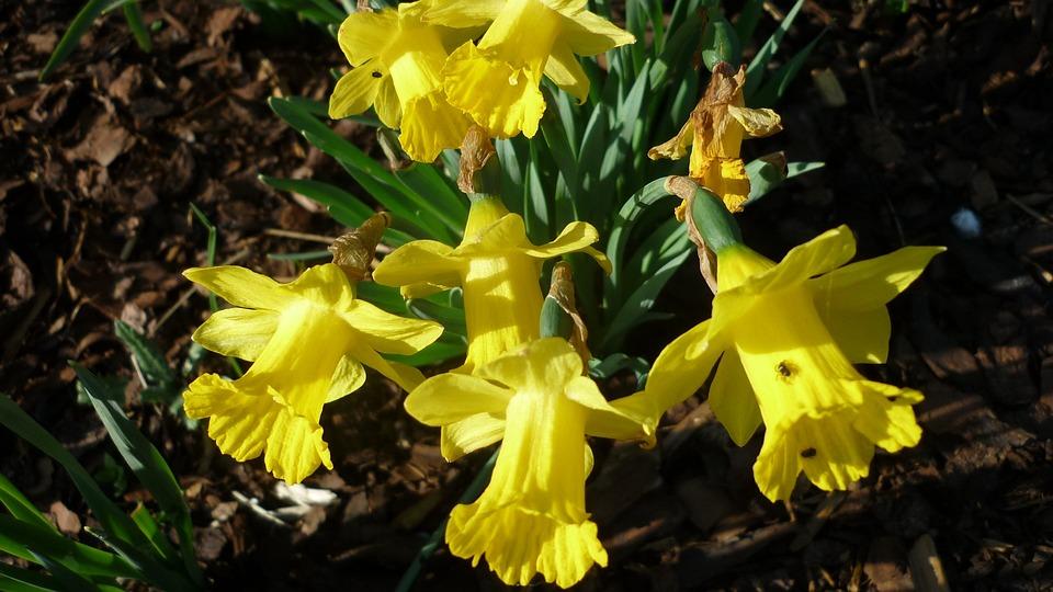 Osterglocken, Spring Flower, Yellow, Flowers