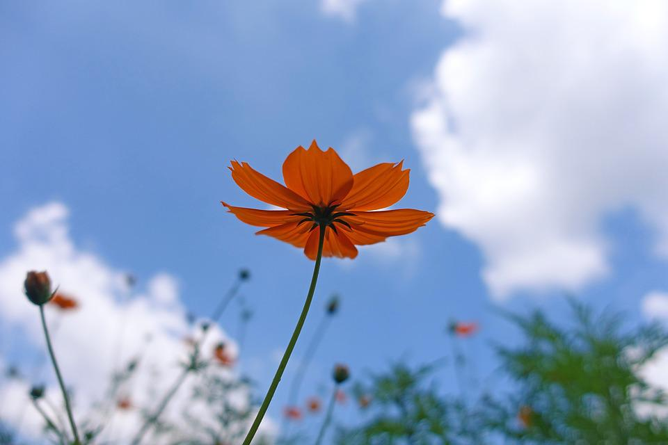 Nature, Plants, Flowers, Summer, Outdoors, Sky, Cosmos