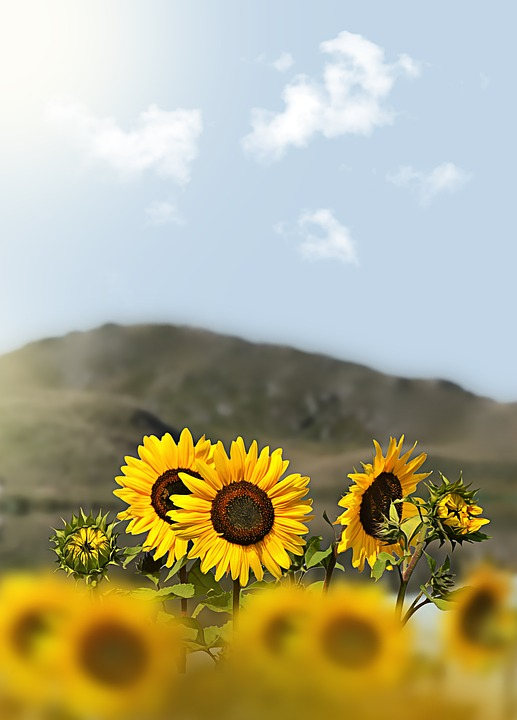 Sunflower, Flowers, Mountain, Sky, Outlook, View