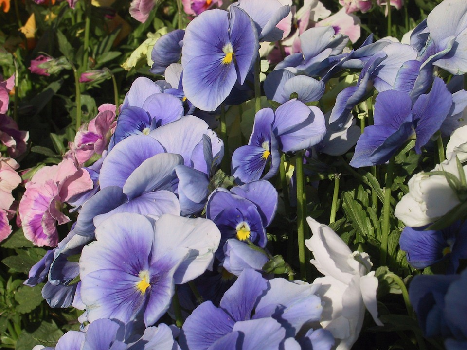 Flowers, Pansy, Blue